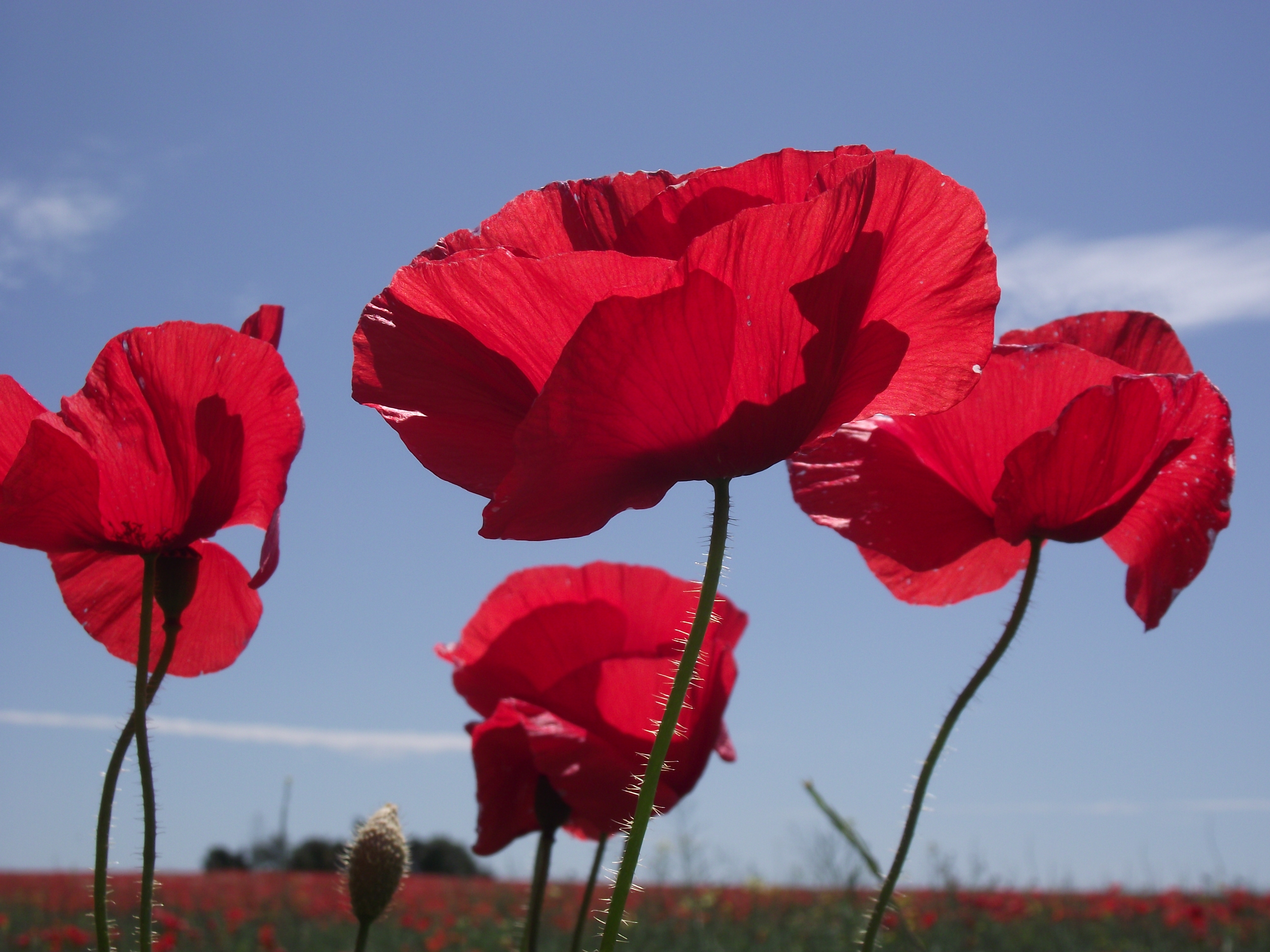 remembrance day poppyposts