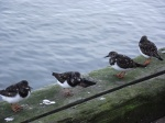 Turnstones on the harbour wall