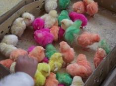 Spring chicks, Sede Market