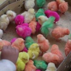 Spring chicks, Sede Market