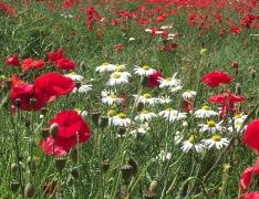 poppies 8