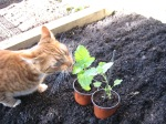 Tom eating catmint