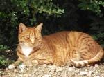 Tom the 7 kilo lion cat