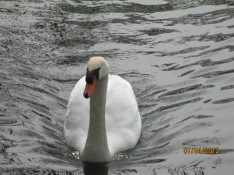 Swan at Wistow