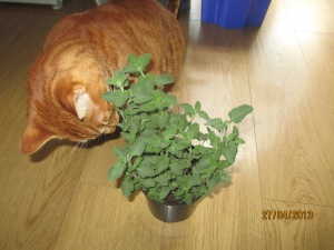 Tom and catmint
