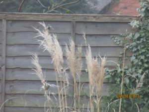 Sparrows on my Pampas grass