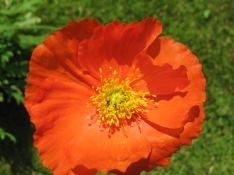 Welsh poppy