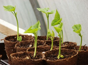Runner bean seedlings