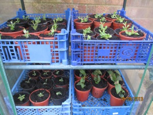 Seedlings potted up