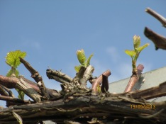 Grape vine in Spring