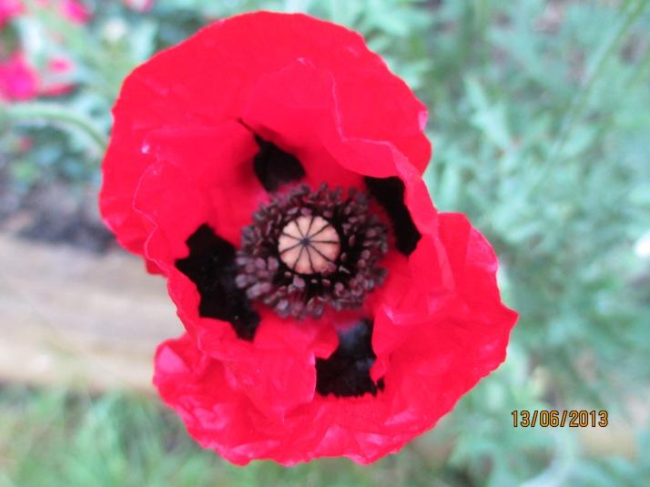 Ladybird poppy