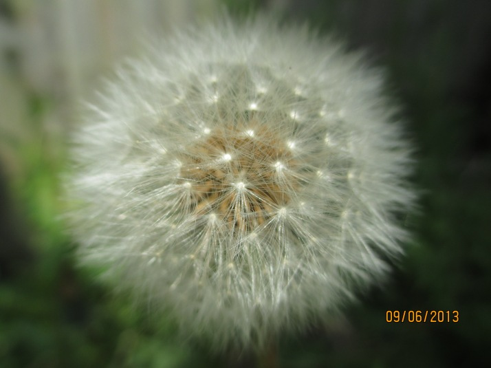 Dandelion clock (weed, but a pretty one)