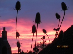 Teasles at sunrise