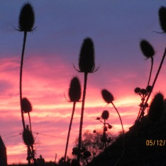 Teasles at sunrise