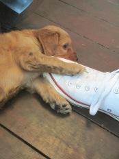 Jasper at 5 weeks-loves laces