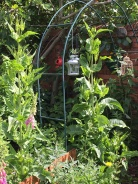 Teasles for the butterflies and bees