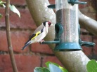 Goldfinch-my favourite